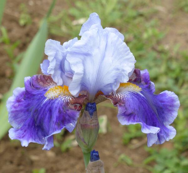 Iris 'Giatsyntove Sontse'