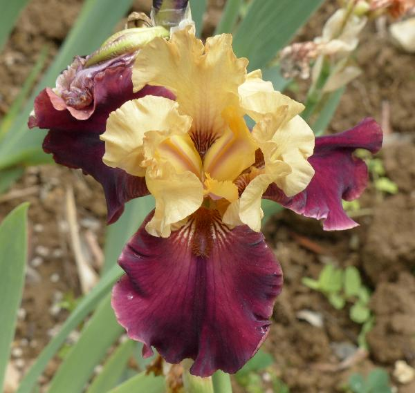 Iris '08-DAL 5'