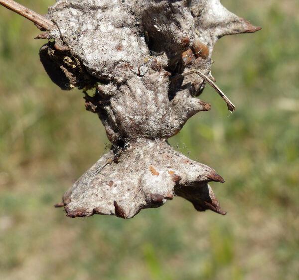Quercus dalechampii Ten.