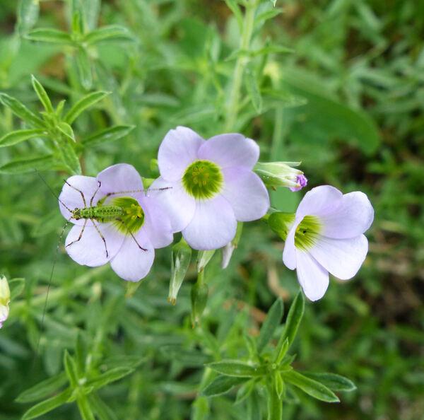 Oxalis purpurea L.