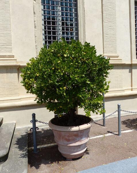 Citrus x limon (L.) Osbeck 'Limetta dolce di Roma'