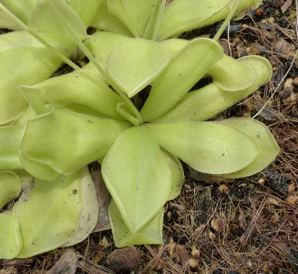 Pinguicula moranensis Kunth