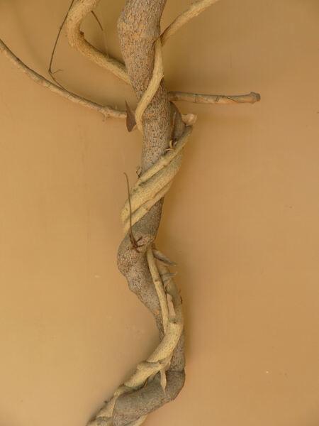 Combretum indicum (L.) DeFilipps
