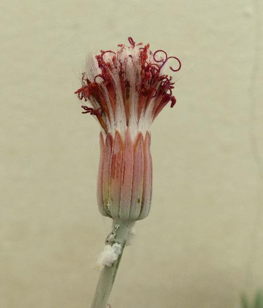 Kleinia stapeliiformis (E.Phillips) Stapf