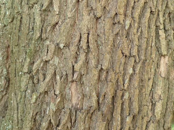 Crinodendron patagua Mol.