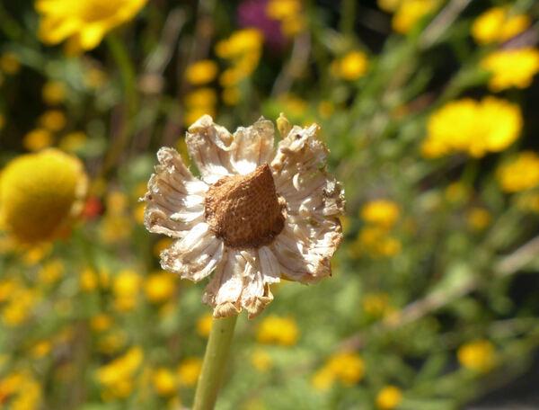 Coleostephus myconis (L.) Cass. ex Rchb.f.