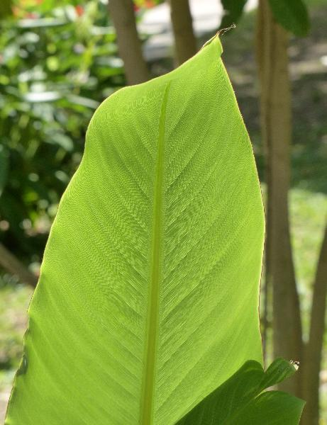 Ensete lasiocarpum (Franch.) Cheesman