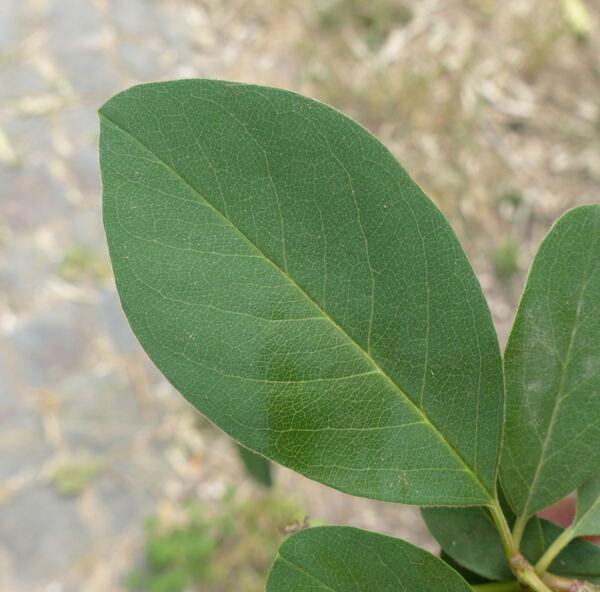 Cotoneaster comptus hort. ex C.K.Schneid.