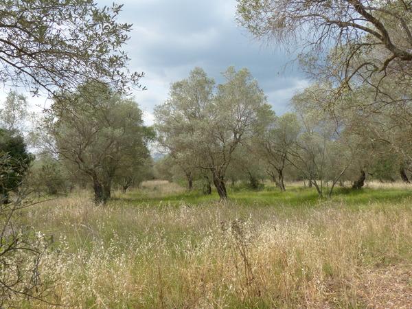 Olea europaea L.