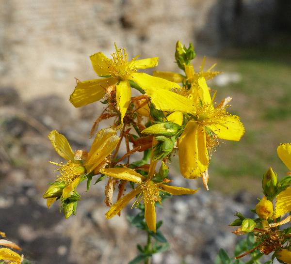 Hypericum perforatum L.