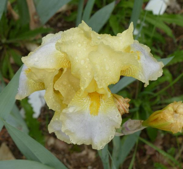 Iris 'Lanterne Magique'
