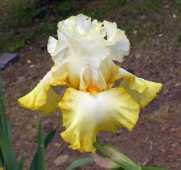 Iris 'Zesting Lemons'