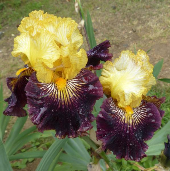 Iris 'Reckless Abandon'