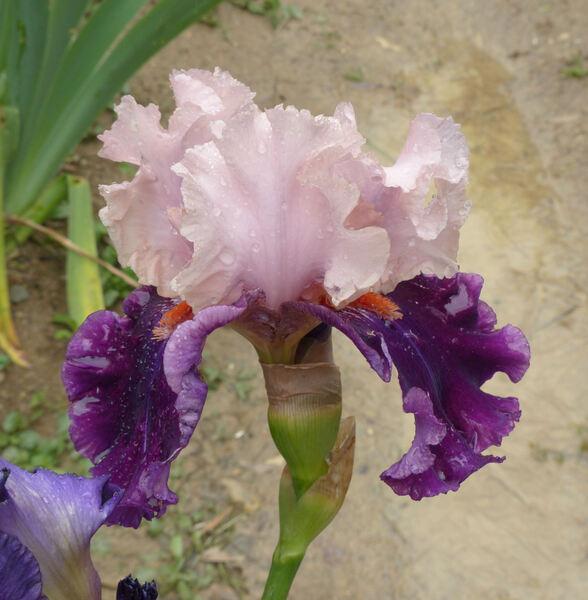 Iris 'Fashion Magic'