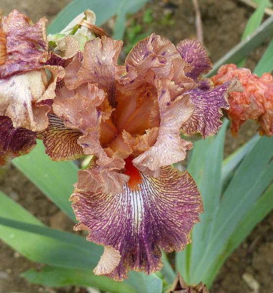 Iris 'Cocktail'