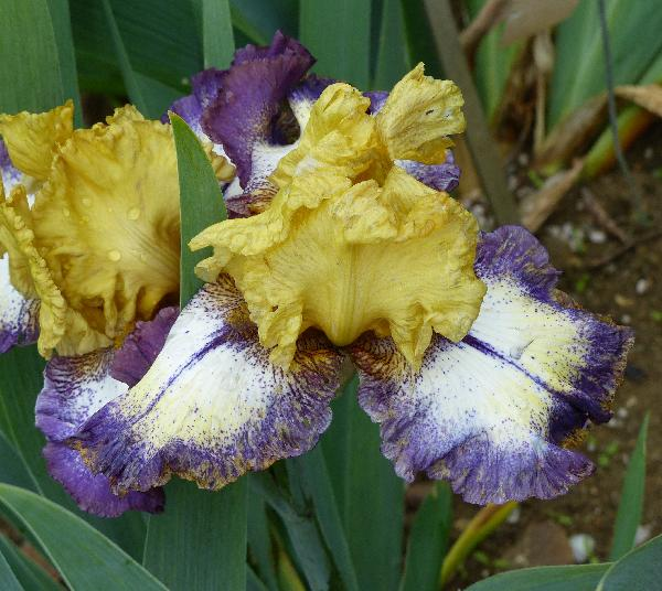 Iris 'MMD8-3'