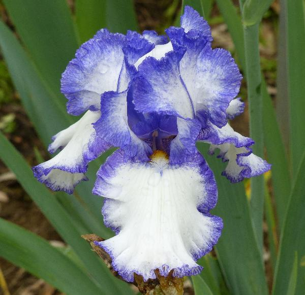 Iris 'Star Of The Morn'