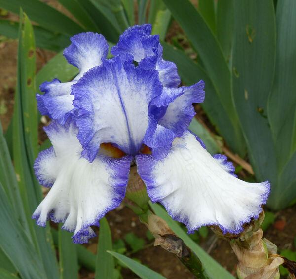 Iris 'Star Of The Morn'