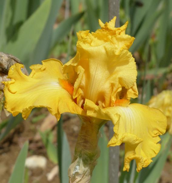 Iris 'Dance Til Dawn'