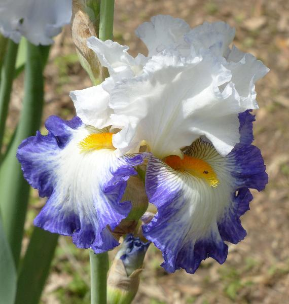 Iris 'Revision'