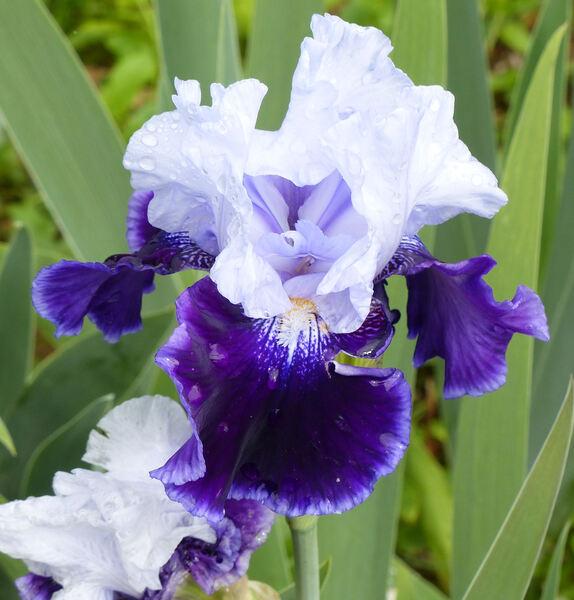 Iris 'High Class'