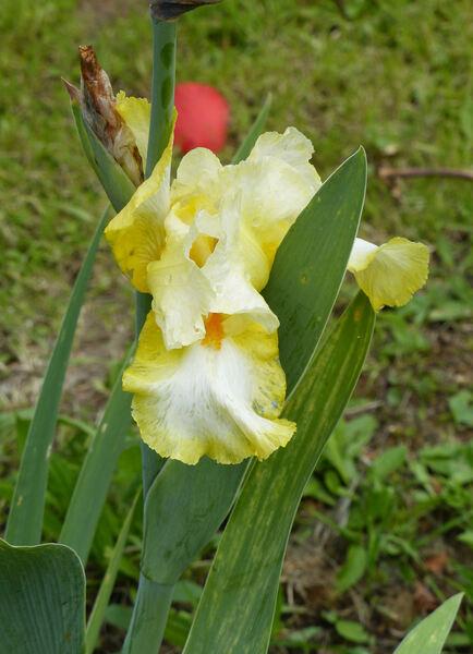 Iris 'Launching Pad'