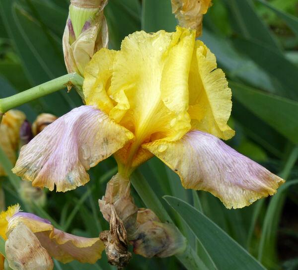Iris 'Queen of Florence'