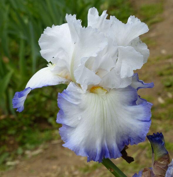 Iris 'Vento di Maggio'