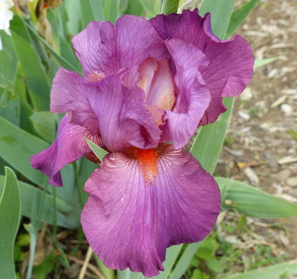 Iris 'Cantina'