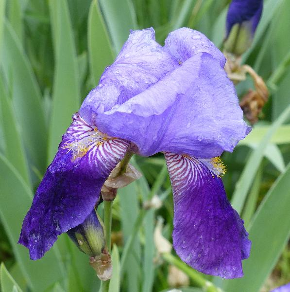 Iris 'Dusky Evening'