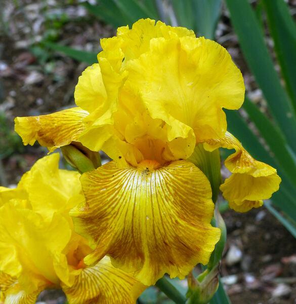 Iris 'Esplosione Solare'