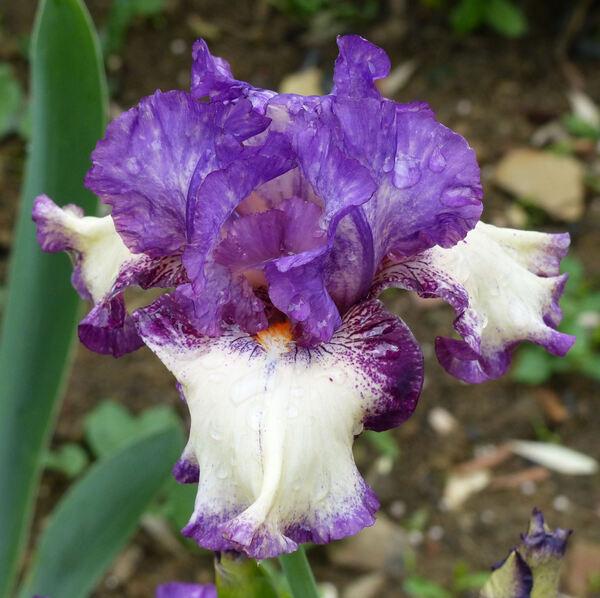 Iris 'Good Life'