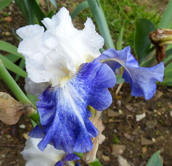Iris 'Miles Ahead'