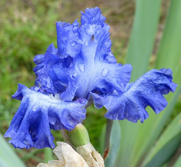 Iris 'Maschseefest'