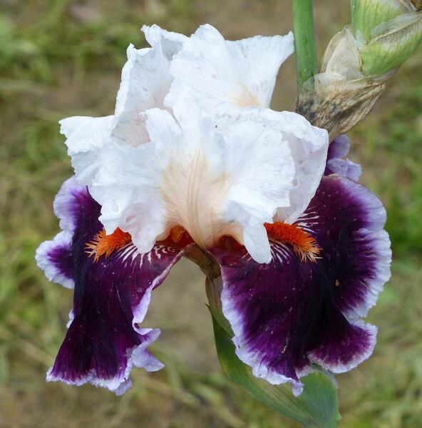 Iris 'Crimson Cloud'