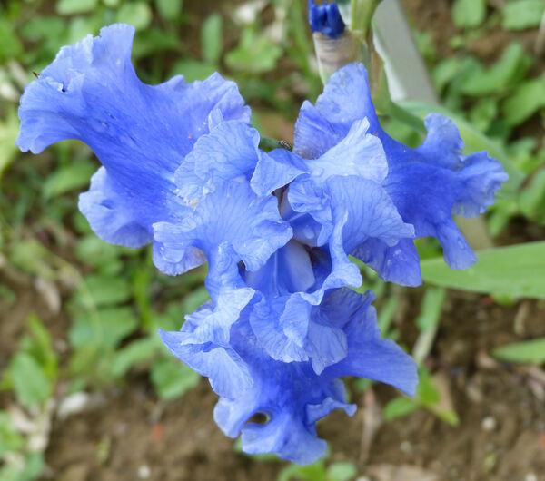 Iris 'Agua Fresca'