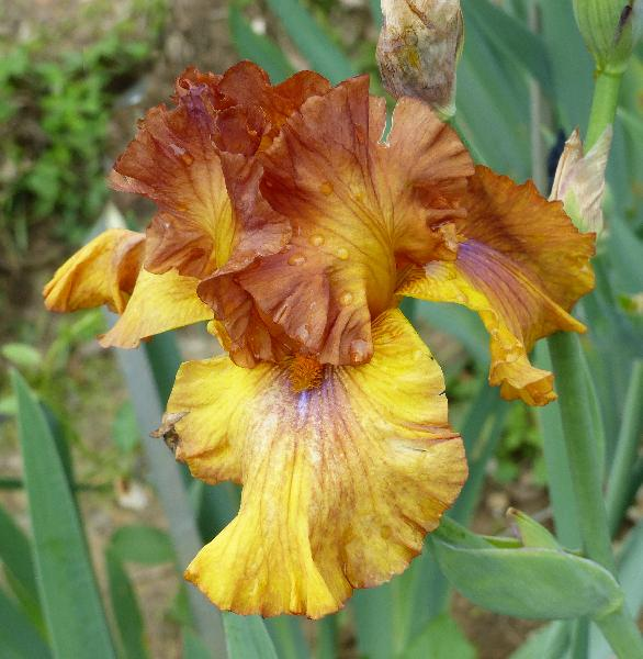 Iris 'Rainbow Warrior'