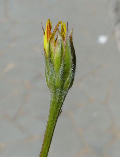 Scorzonera villosa Scop. subsp. villosa
