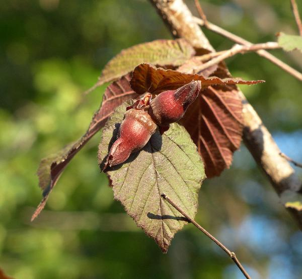 Corylus maxima Mill. var. purpurea (Loudon) Rehder