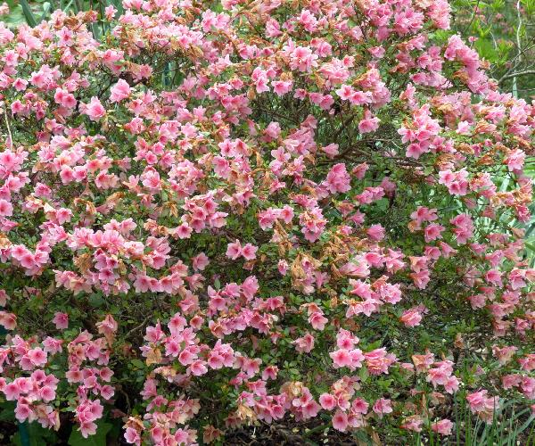 Rhododendron 'Kirin'
