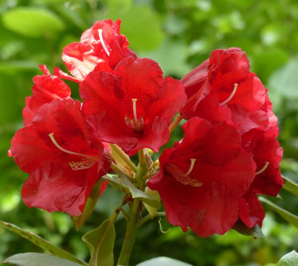 Rhododendron 'David'