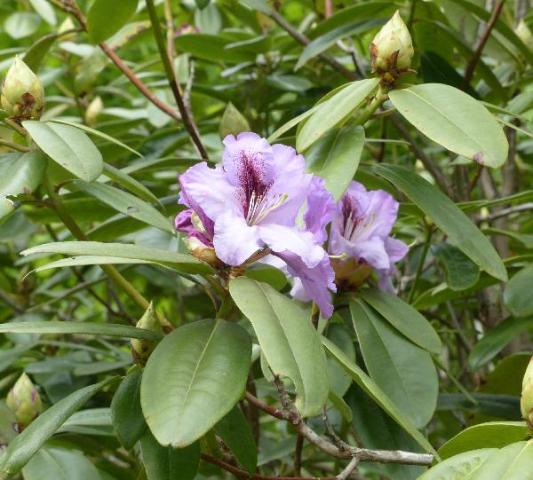 Rhododendron 'Arthur Bedford'
