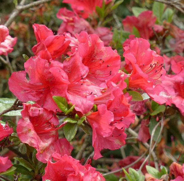 Rhododendron 'Vuyk's Scarlet'