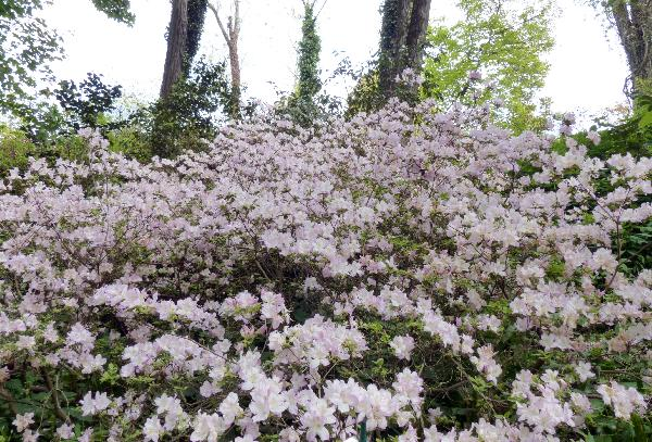 Rhododendron 'Lilac Time'
