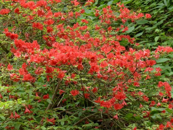 Rhododendron 'Orange Beauty'
