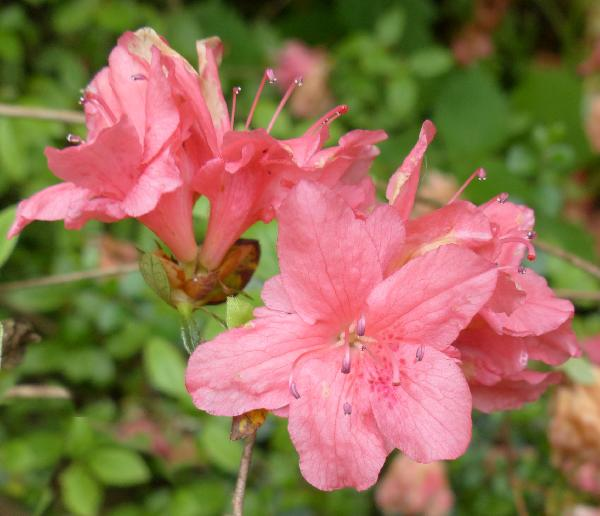 Rhododendron 'Juneglow'