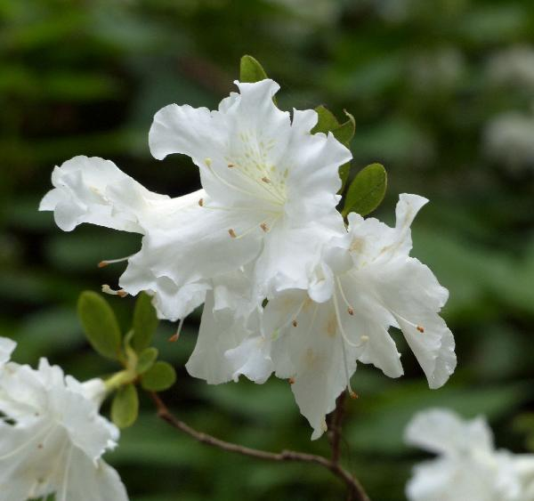 Rhododendron 'Adonis'