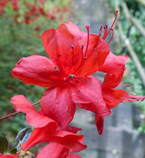 Rhododendron 'Stewartstonian'