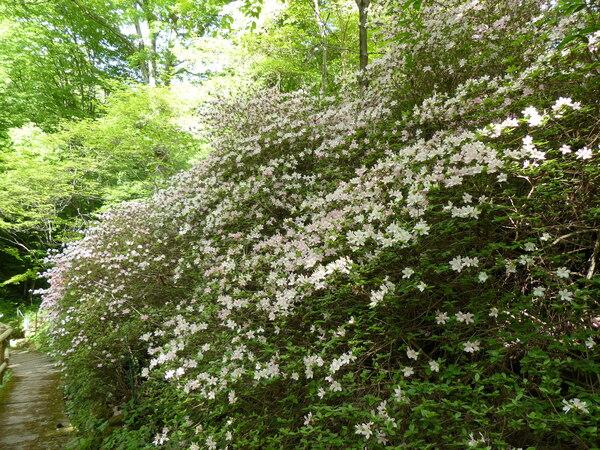 Rhododendron 'Baraggia'