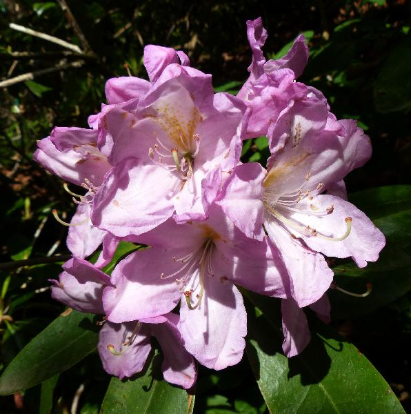 Rhododendron 'Rosé Duft'